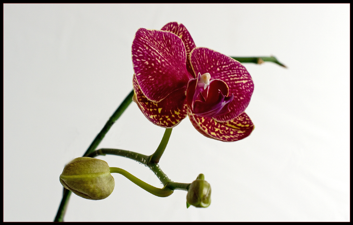Http digitale fotografie arnim bac orchidee 6